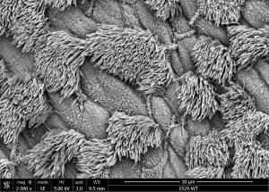 animal models respiratory system regeneration