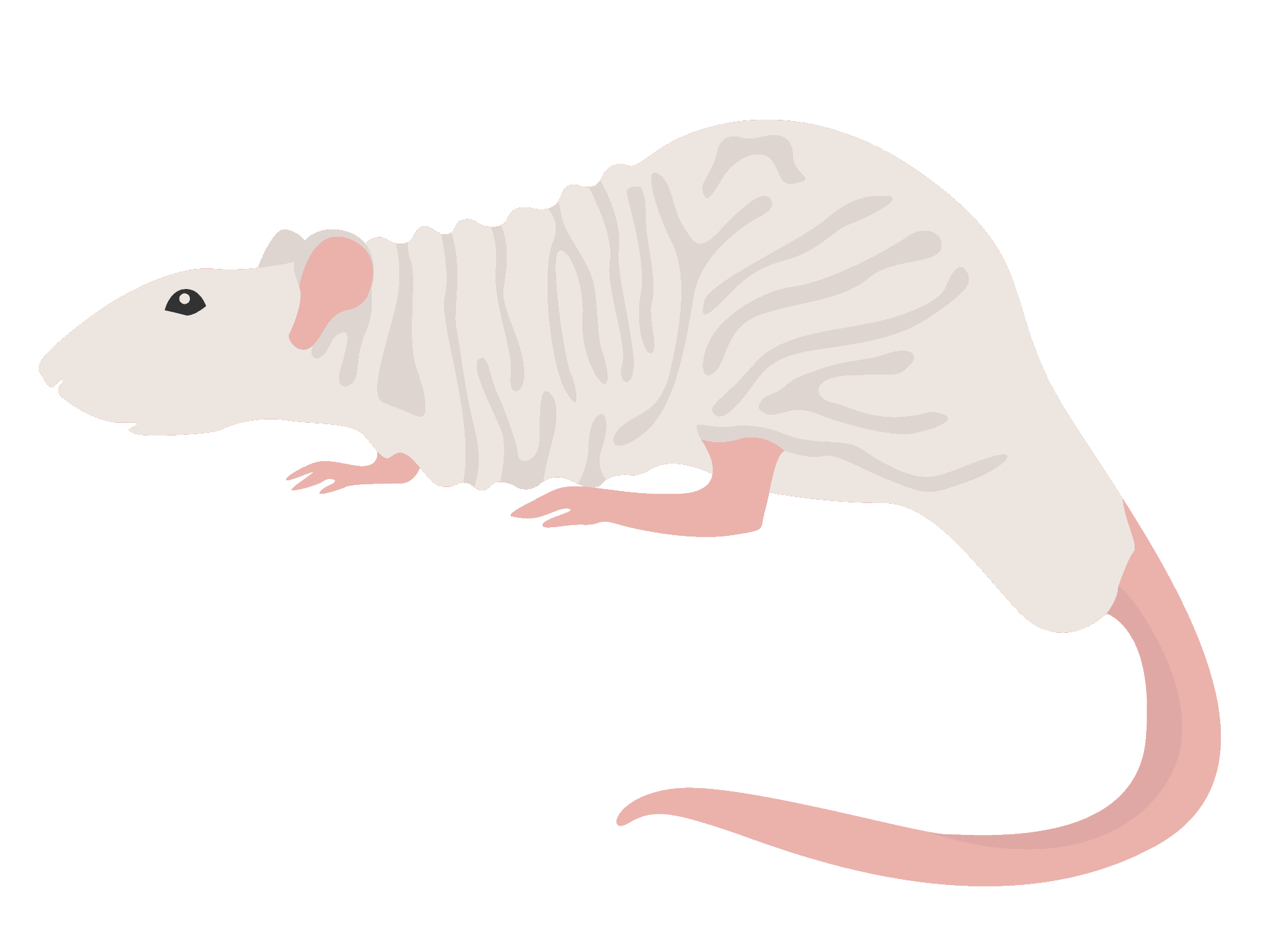 Mice strains in respiratory research
