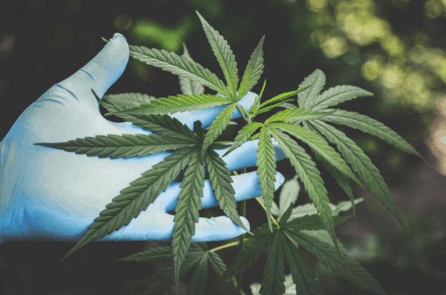 Mouse Model for Inhaled cannabis